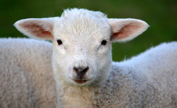 A crueldade de matar animais inocente pode ser um motivo de largar o consumo de carne.