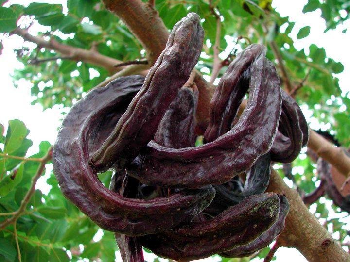 Vagens de alfarroba maduras em uma árvore