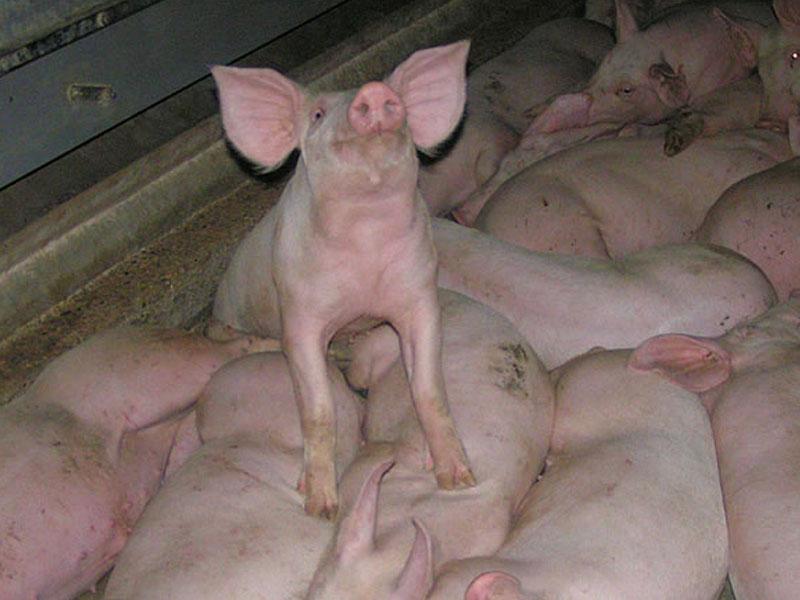 Proteina animal traz muitas consequencias negativas.