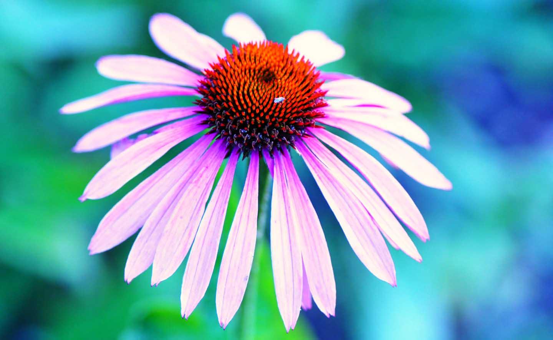 Uma flor da Echinacea - Photo by Mabel Amber from Pexels