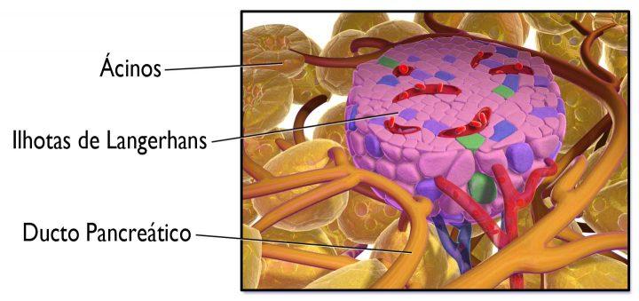 Ilhotas de Langerhans - Source: Wikipedia/Medical gallery of Blausen Medical 2014